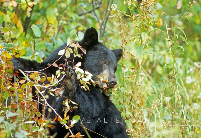 110 Black Bear, Grand Teton National Park