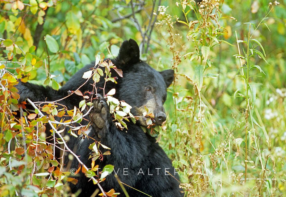 110 Black Bear, Grand Teton National Park