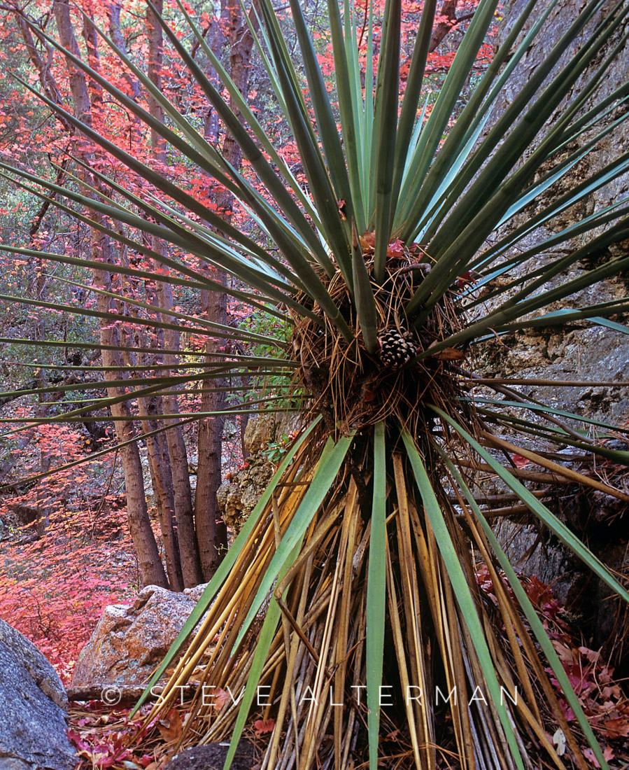 503 Yucca with Autumn Color, South Fork, Cave Creek, Arizona