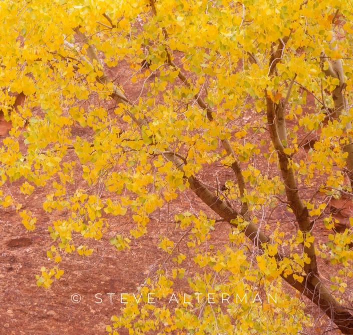 526 Autumn Cottonwood, Grand Staircase, Escalante National Monument