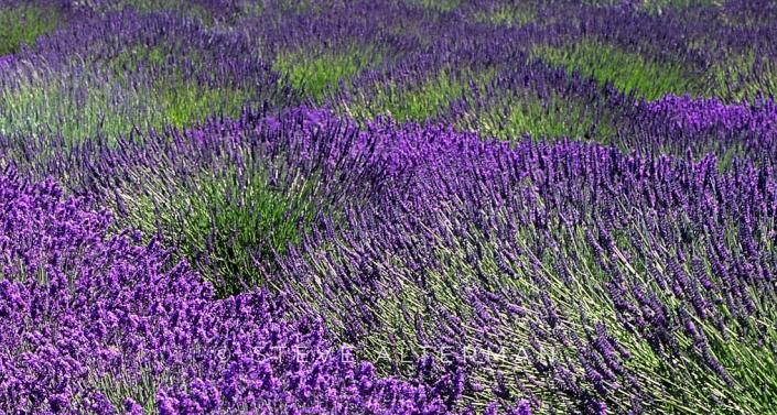 705 Lavender Field, Sequim, Washington