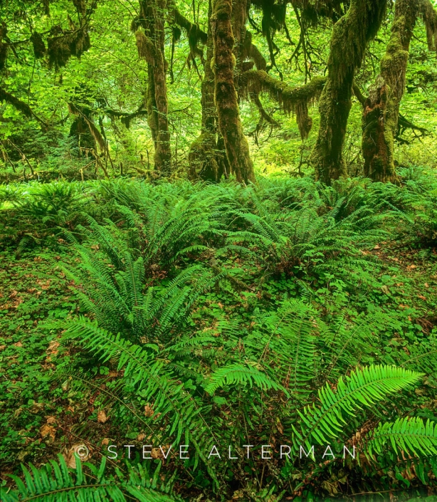 715 Maple Grove, Hoh Rain Forest, Olympic National Park