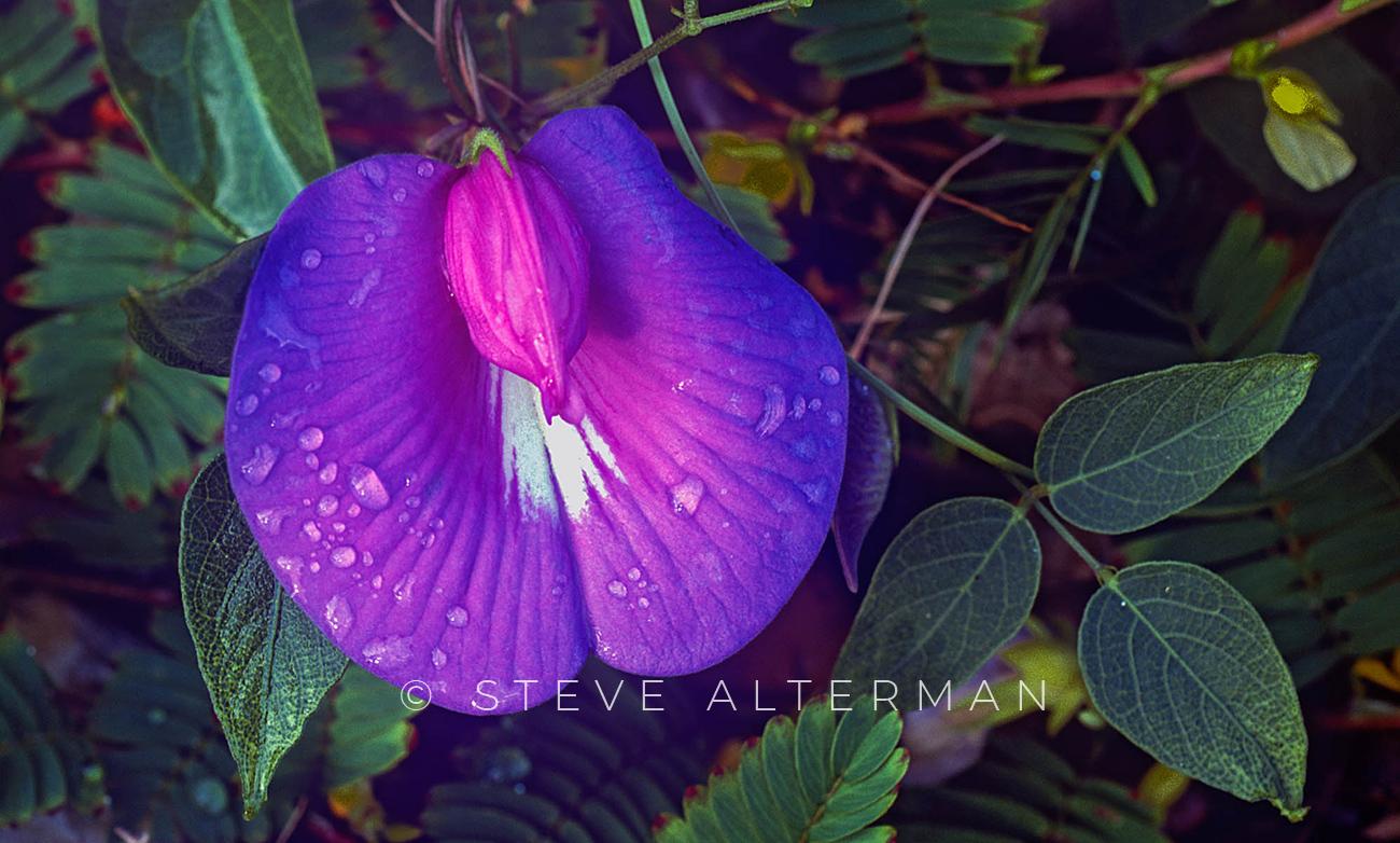 821 Butterfly Pea - Duck, North Carolina
