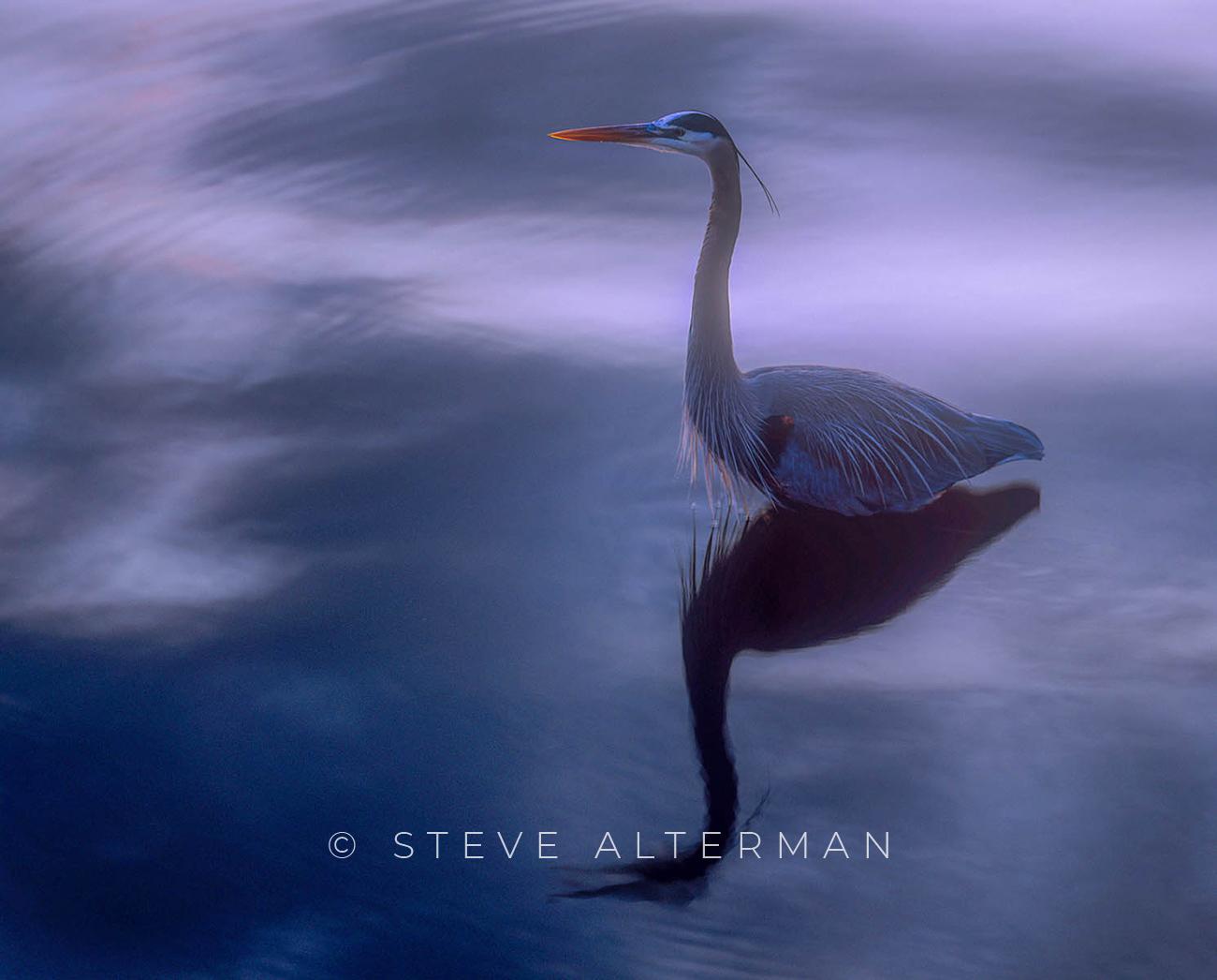 827 Great Blue Heron - Duck, North Carolina