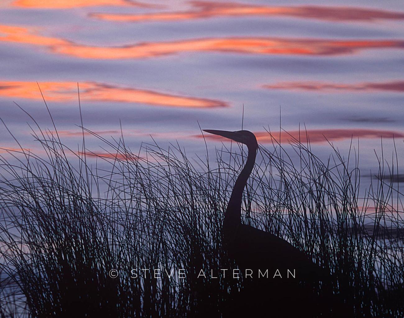 828 Great Blue Heron Silhouette - Duck, North Carolina